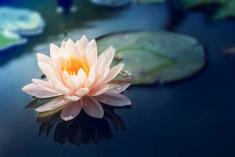 Abeautifulpinkwaterlilyorlotusflowerinpond_hr